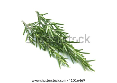 Fresh rosemary herbs - stock photo