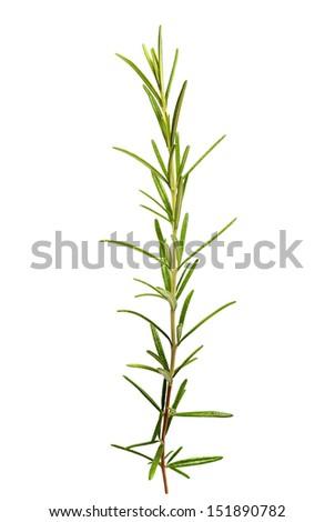 Fresh rosemary leaves on white background - stock photo