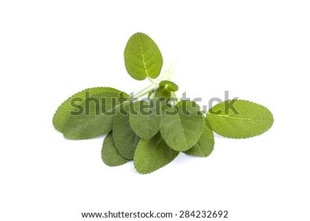 Fresh sage on a white background - stock photo