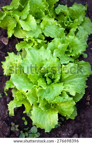 Fresh salad in garden - stock photo