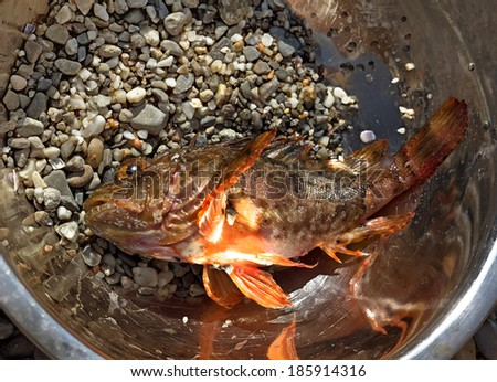 Fresh scorpion-fish (Scorpaenidae) caught in a bowl, sea food - stock photo
