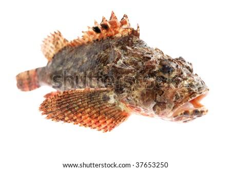 Fresh sea fish (stone perch) on white background - stock photo