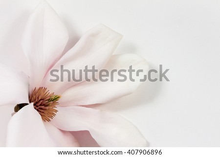 Fresh single magnolia flower on white paper background as soft studio close up and spring image with copy space - stock photo
