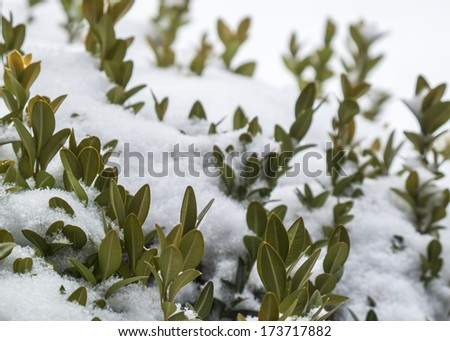 Fresh snow covering greenery outdoors in Winter.