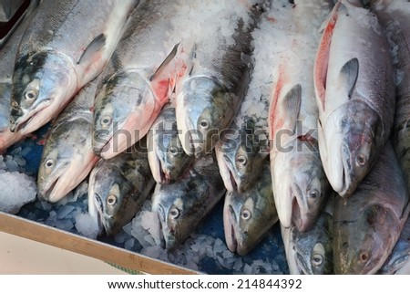 Fresh Sockeye Salmon. Fresh caught Sockeye Salmon for sale from a fishboat in the Pacific Northwest.  - stock photo