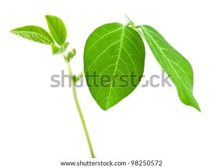 Fresh soy leaves isolated on white - stock photo