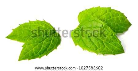 fresh speramint leaves isolated on white