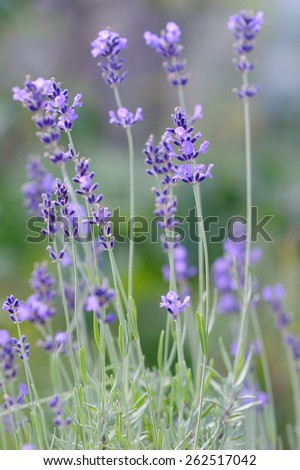 Fresh spice and herbs. Lavender in the garden - stock photo