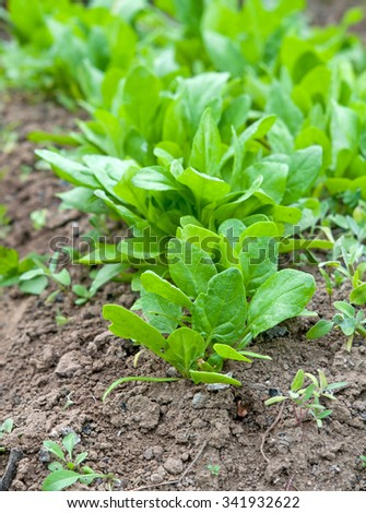 fresh spinach, growing in garden - stock photo