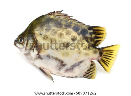 Fresh Spotted scat fish isolated on white background