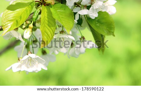 fresh spring blossom - stock photo