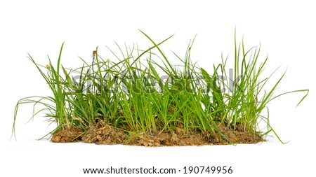 Fresh spring green grass isolated on white background, selective focus. - stock photo