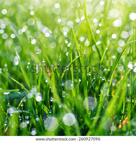 Fresh Spring Green grass with dew Drops