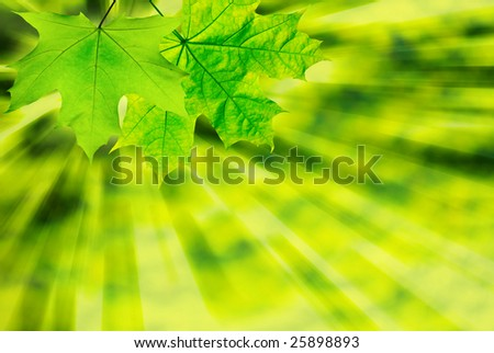 Fresh spring leaves glowing in sunlight