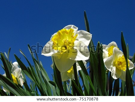 Fresh spring narcissus flowers - stock photo