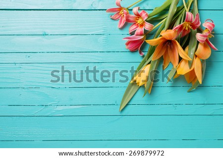 Fresh  spring red tulips flowers  on turquoise  painted wooden planks. Selective focus. Place for text.  - stock photo
