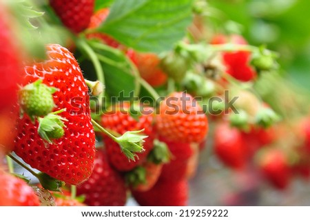 fresh strawberries from Japanese farm - stock photo