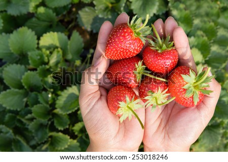 fresh strawberries in human hand - stock photo