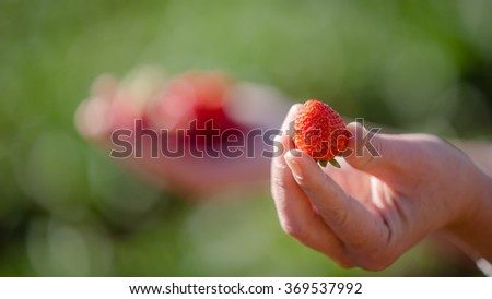fresh Strawberries on the hand at farm, Chiang Mai, Thailand. - stock photo
