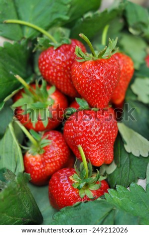 Fresh strawberry from the farm on the mountain. - stock photo