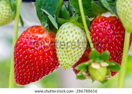 fresh strawberry in the garden. Swallow depth of field - stock photo