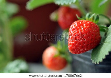 fresh strawberry with green leaves in the garden - stock photo