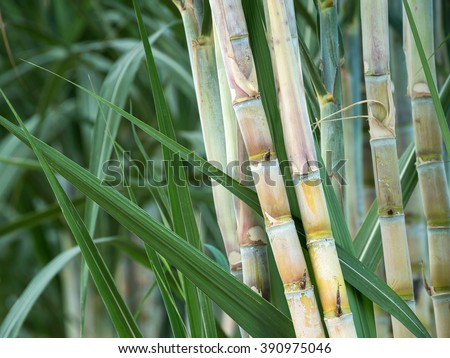 fresh sugarcane in garden. - stock photo
