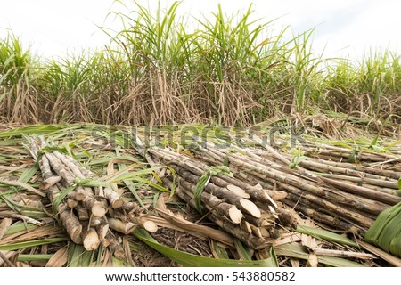 fresh sugarcane in garden.