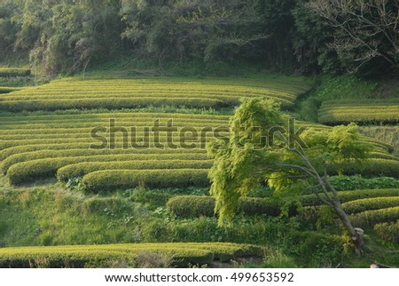 Fresh tea bushes at traditional tea plantation in Shizuoka prefecture in Japan