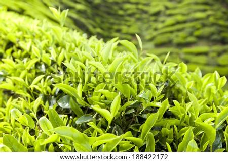 fresh tea leaves - stock photo
