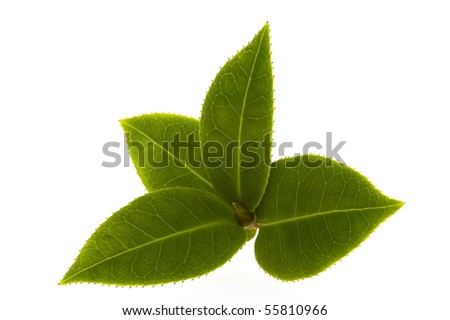 fresh tea leaves - stock photo