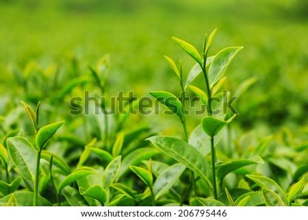 Fresh tea leaves in plantation - stock photo
