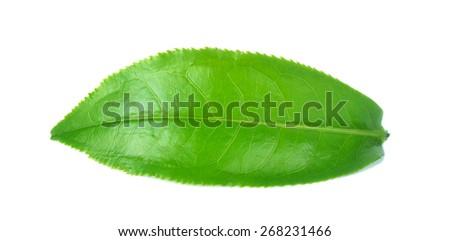 fresh tea leaves isoalted on the white background. - stock photo