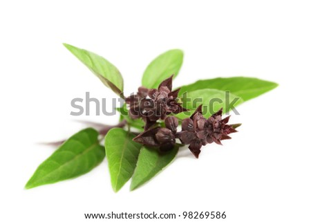 Fresh Thai or Asian sweet basil, isolated on a white background. - stock photo