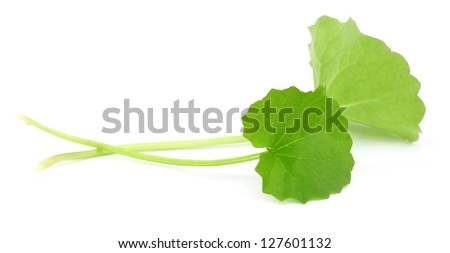 Fresh Thankuni - stock photo