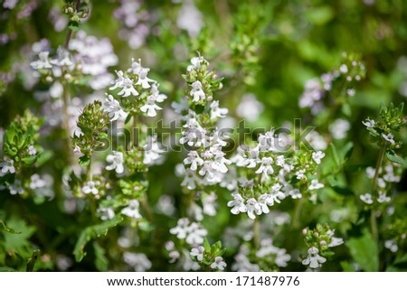 Fresh thyme herbs - thymus vulgaris - growing in garden  - stock photo