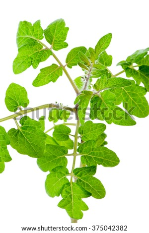 fresh tomato seedlings leaves  close-up on white background - stock photo