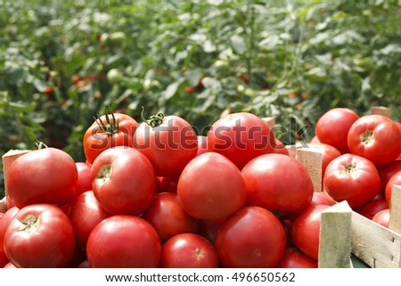 fresh tomatoes in a crate