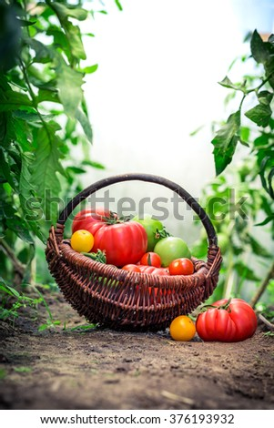 Fresh tomatoes in greenhouse - stock photo