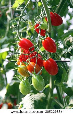 Fresh tomatoes plants  - stock photo
