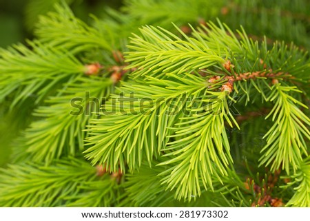 Fresh twigs of the pine tree in a spring. - stock photo