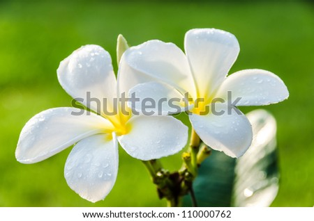 fresh two white flower with dew under morning light in green background