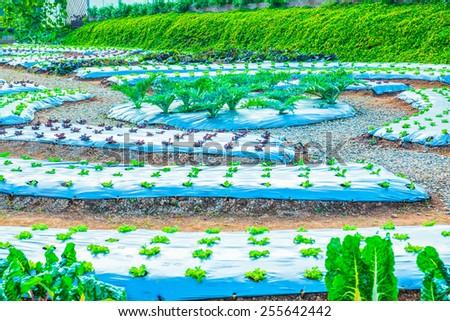 Fresh vegetable in agricultural garden, Thailand - stock photo