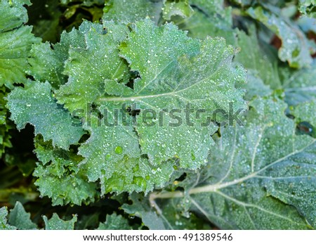 Fresh vegetable kale leaves growing the garden.  Morning dew drops cover the fresh organic healthy greens.