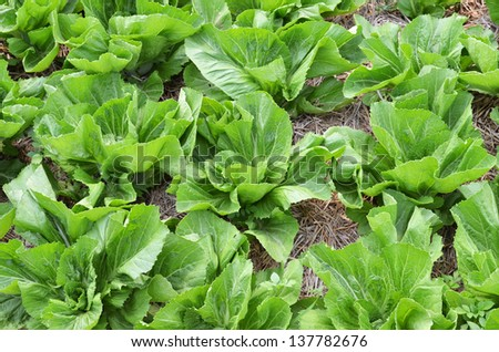 Fresh vegetables grown in the vegetable garden - stock photo