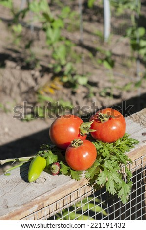 Fresh vegetables picked from a garden - stock photo