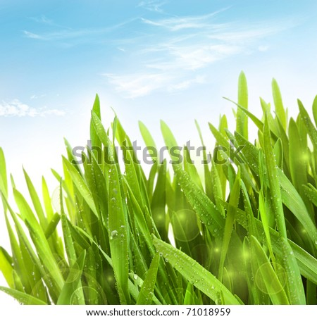 Fresh wheat grass with dew drops against blue sky - stock photo