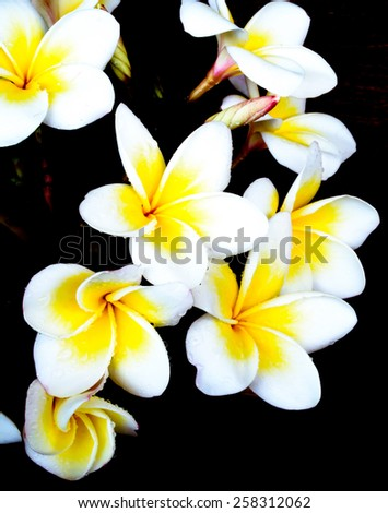 Fresh white flowers with black color backgrounds - stock photo