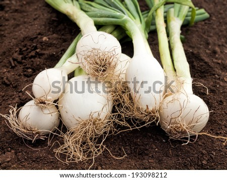 fresh white onions in a  garden on ground