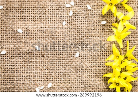 Fresh yellow forsythia flower on a vintage jute sack background useful as background and greeting card - stock photo
